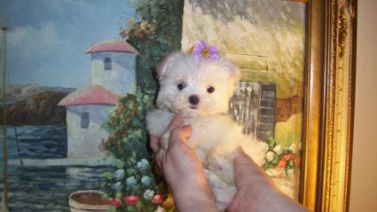 YORKIEBABIES.COM  ELEGANT TEACUP MALTESE PUPPIES
