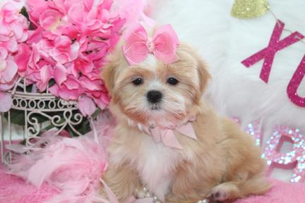 SHIH TZU PUPPIES AT YORKIEBABIES.COM
