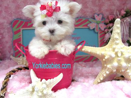 TEACUP MALTESE PUPPIES, TEACUP MALTESE, MALTESE PUPPIES YORKIEBABIES.COM