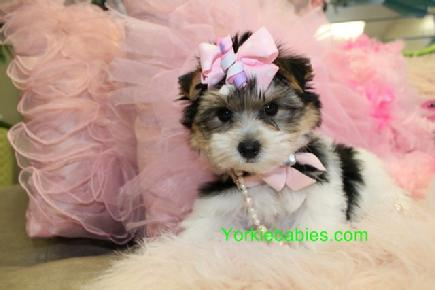 MORKIE PUPPIES FOR SALE YORKIEBABIES.COM