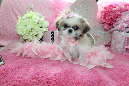 YORKIEBABIES.COM SHIH TZU PUPPIES FOR SALE, SHIH TZU PUPPIES