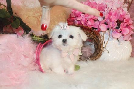 MALTESE PUPPIES, MALTESE FOR SALE AT YORKIEBABIES.COM