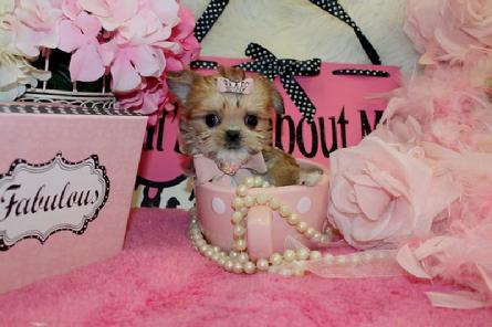 YORKIEBABIES.COM  ELEGANT SHORKIE PUPPIES FOR SALE