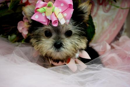 ELEGANT TEACUP PUPPIES YORKIEBABIES.COM