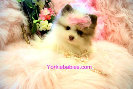 Teacup Pomeranian, pomeranian for sale, Pomeranian For Sale, Tiny Pomeranian for Sale, Teacup Pomeranian, Pomeranian for sale Florida.