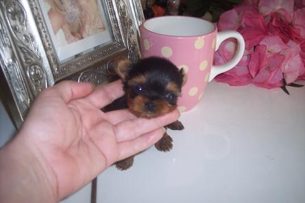 ELEGANT TINY TEACUP YORKIE AND TEACUP PUPPIES AT YORKIEBABIES.COM