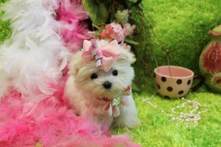 YORKIEBABIES.COM FOR BEAUTIFUL MALTESE PUPPIES FOR SALE