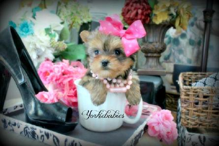 Yorkiebabies.com Rare Gold Yorkies, chocolate yorkies, Teacup Yorkie Puppies, Gold Yorkie Puppies for sale, Tiny Gold Yorkies for sale in Florida