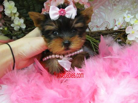 YORKIEBABIES.COM ELEGANT TEACUP YORKIE FOR SALE