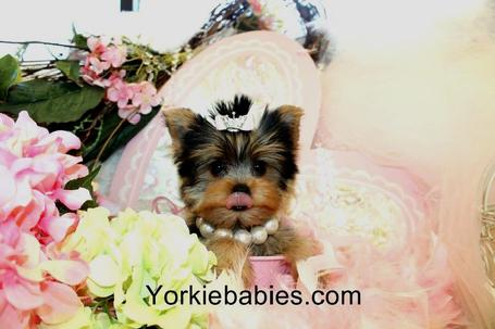 YORKIEBABIES.COM FOR SOME OF THE MOST BEAUTIFUL YORKIES IN THE WORLD!