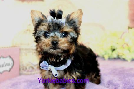 ELEGANT YORKIES FOR SALE AT YORKIEBABIES.COM  SOME OF THE BEST TEACUP YORKIES IN THE WORLD!