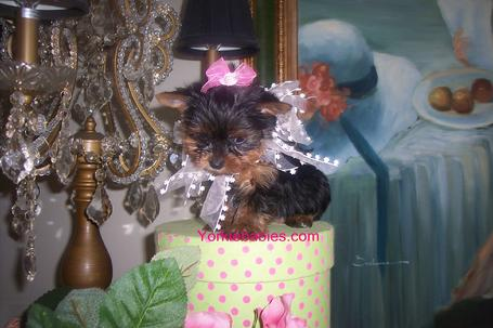 TEACUP YORKIE AT YORKIEBABIES.COM  ELEGANT YORKIE PUPPIES THAT WILL MELT YOUR HEART.  Yorkie, Yorkies,  Yorkie Puppies, Yorkshire Terrier, Yorkshire Terrrier Puppies, Yorkie Breeder, Yorkshire Terrier Breeder, Breeder Yorkies, AKC Yorkies, AKC Yorkshire Terrier, Yorky, Yorkie Puppies For Sale, Yorkie Teacups, Teacup Puppies, Toy Yorkies, Yorkie Litters, Yorkie Housebreaking.  Yorkie Crate Training. Gorgeous Yorkies.