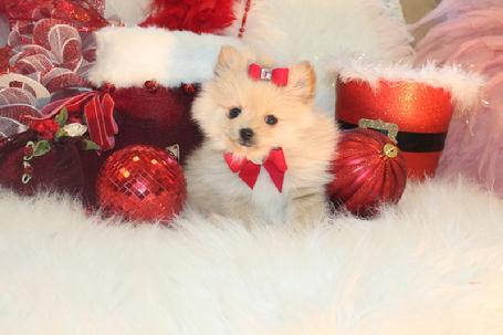 POMERANIANS, POM PUPPIES AT YORKIEBABIES.COM