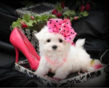 TEACUP MALTESE PUPPIES FOR SALE IN FLORIDA AT YORKIEBABIES.COM