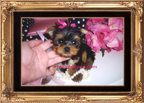 Yorkie puppies for sale in pa under 300