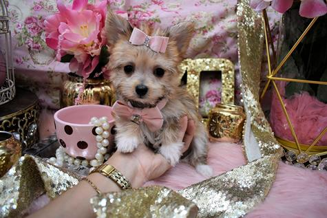 """GORGEOUS GRACE"" $2000 STUNNING TINY TEACUP GOLDEN FEMALE MORKIE PUPPY, WHITE LITTLE ""BOOTS"" GRACE HER FEET, THICK COAT, STUNNING GOLDEN COLORING, ..."