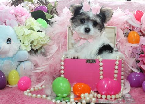 Yorkiebabies.com Elegant Teacup Morkies, Morkies for sale, Morkie puppies