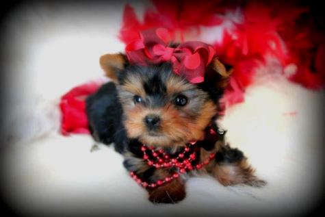 YORKIEBABIES.COM HAS SOME OF THE TINIEST AND MOST BEAUTIFUL TEACUP YORKIES FOR SALE IN SOUTH FLORIDA