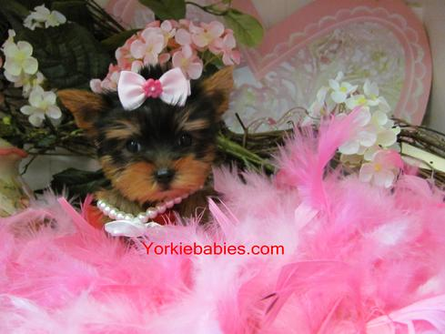 yorkshire chiot video
